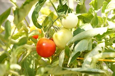 Photograph - Tomatoes On The Vine by Kerri Mortenson