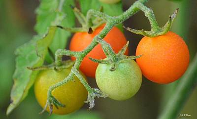 Photograph - Tomatoes On The Vine by Maria Urso