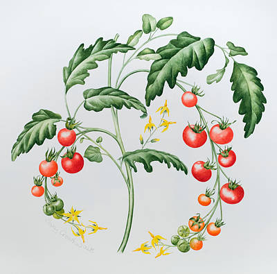 Vine Painting - Tomatoes by Sally Crosthwaite