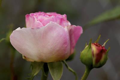Photograph - Tomorrow - A Pink Rose by Jane Eleanor Nicholas