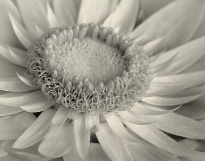 Strawflower Photograph - Toned Strawflower by David and Carol Kelly