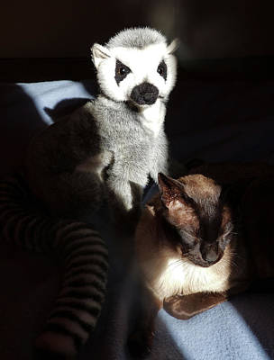 Photograph - Tonkinese With Companion by Margaret Saheed
