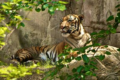 Photograph - Tony The Tiger? by Ricardo J Ruiz de Porras