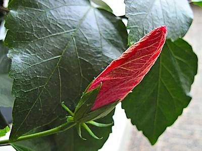 Photograph - Too Cold To Bloom Said The Hibiscus by Doug Morgan