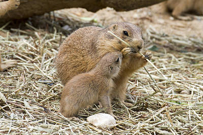 Photograph - Too Cute Prairie Dogs by Chris Scroggins