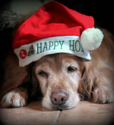 Golden Retriever Photograph - Too Much Eggnog by Karen Wiles