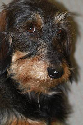 Dachshund Art Photograph - Top Dog Wirehaired Dachshund In Wooster Ohio by Andrea Lazar