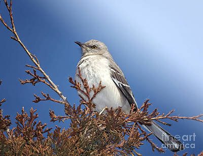 Mockingbird Photograph - Top Of My Game by Betty LaRue