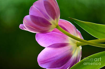 Topsy-turvy Tulips Art Print