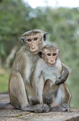 Animal Behaviour Wall Art - Photograph - Toque Macaque Embrace by Tony Camacho
