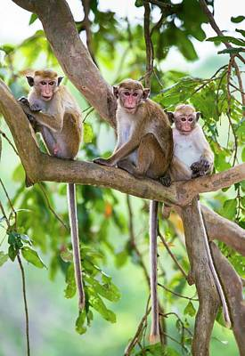Trio Photograph - Toque Macaque Family Group by Peter J. Raymond