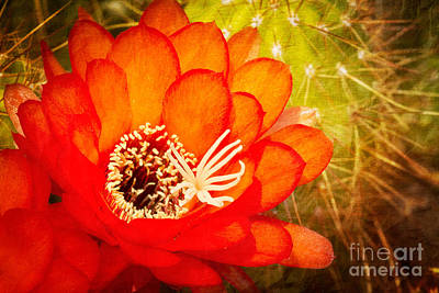 Photograph - Torch Cactus Bloom by Marianne Jensen