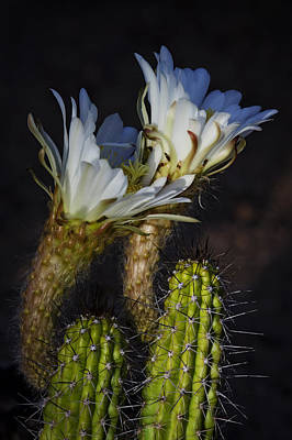 Torch Cactus Blooms  Art Print by Saija  Lehtonen
