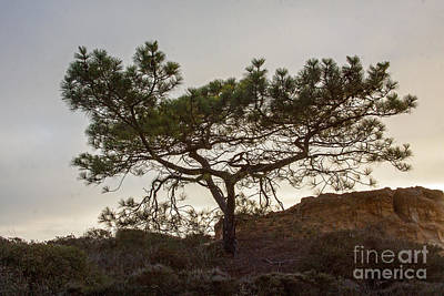 Torrey Pine Tree Art Print by Darleen Stry