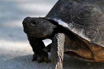 Sports Royalty-Free and Rights-Managed Images - Gopher Tortoise by David Tennis