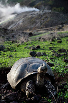 Galapagos Photograph - Tortoise Giant Tortoise Reptile by Eric Rorer