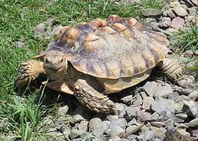 Photograph - Tortoise by Lucinda VanVleck