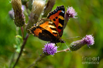 Photograph - Tortoise Shell Butterfly by Scott Lyons