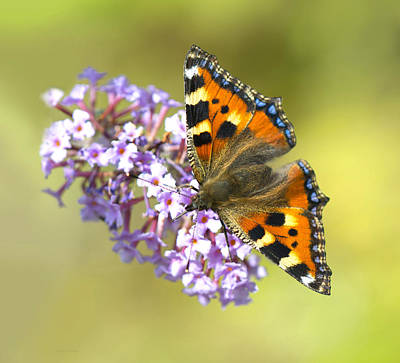 Photograph - Tortoiseshell  Butterfly by Steven Poulton