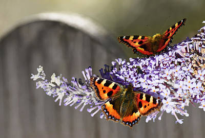 Photograph - Tortoiseshell Butterfly by Veli Bariskan