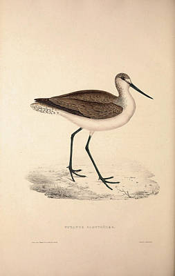 Exotic Drawing - Totanus Glottoides, Common Greenshank. A Wader In The Large by Quint Lox