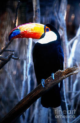 Toucan Art Print by Barbara D Richards