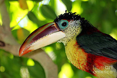 Photograph - Toucan Bird by Afrodita Ellerman