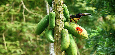 Toucan Bird Feeding On Papaya Tree Art Print by Panoramic Images