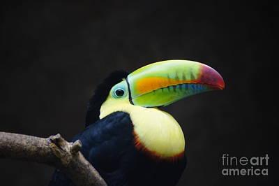 Photograph - Toucan by D C