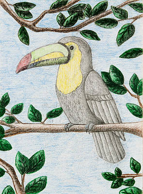 Rain Forest Animals Drawing - Toucan by Jeanette K