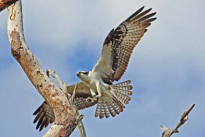 Photograph - Touch Down - Osprey In Flight by HH Photography of Florida