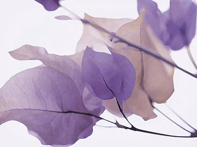 Photograph - Touch Of Lavender Bougainvillea by Fraida Gutovich