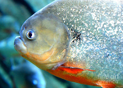 Piranha Photograph - Tough Guy  by Carol Groenen