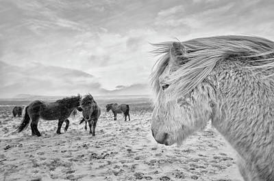 Iceland Wall Art - Photograph - Tough Guys by John Colbensen