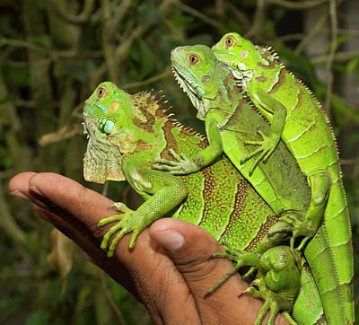 Tourist With Juvenile Green Iguanas Art Print by William Sutton