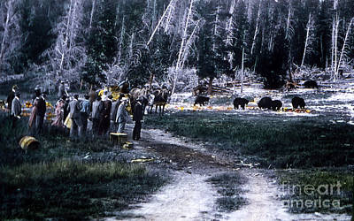 Photograph - Tourists Feeding Bear Yellowstone Np by NPS Photo JP Clum