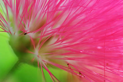 Photograph - Towards The Sun. Macro Of The Rain Tree Blossom by Jenny Rainbow