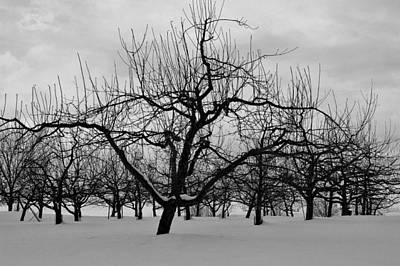 Photograph - Tower Hill Winter Orchard by Michael Saunders