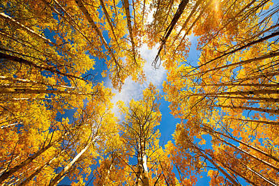 Photograph - Towering Aspens by Darren  White