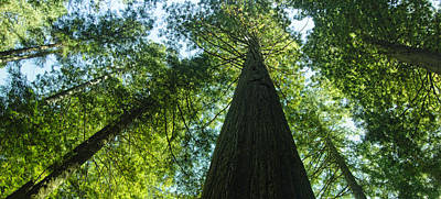 Photograph - Towering Redwoods by Don Schwartz