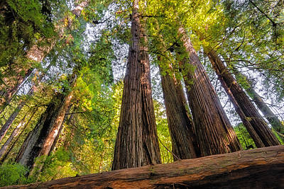 Photograph - Towering Redwoods by Loree Johnson