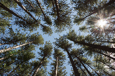 Photograph - Towering White Pines by Barbara McMahon