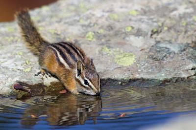 Chipmunk Photograph - Townsend's Chipmunk, Drinking At A Rain by Ken Archer