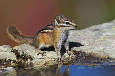 Chipmunk Photograph - Townsend's Chipmunk by Ken Archer