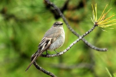 Photograph - Townsend's Solitaire by Marilyn Burton
