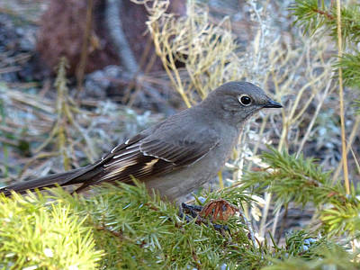 Photograph - Townsends Solitaire by Thomas Samida