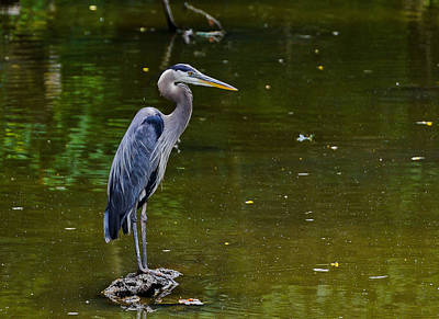 Towpath Heron Art Print