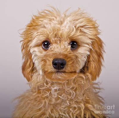 Photograph - Toy Poodle by Mike Mulick