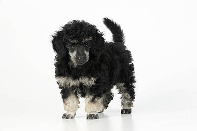 Phantom Dog Photograph - Toy Poodle Puppy by John Daniels