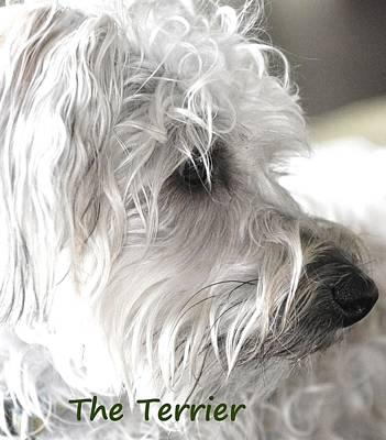 Boston Terrior Photograph - Toy Terrier Dog by Lisa  DiFruscio